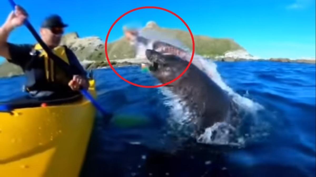 VÍDEO: foca lanza un pulpo a la cara de un piragüista en Nueva Zelanda y se vuelveviral