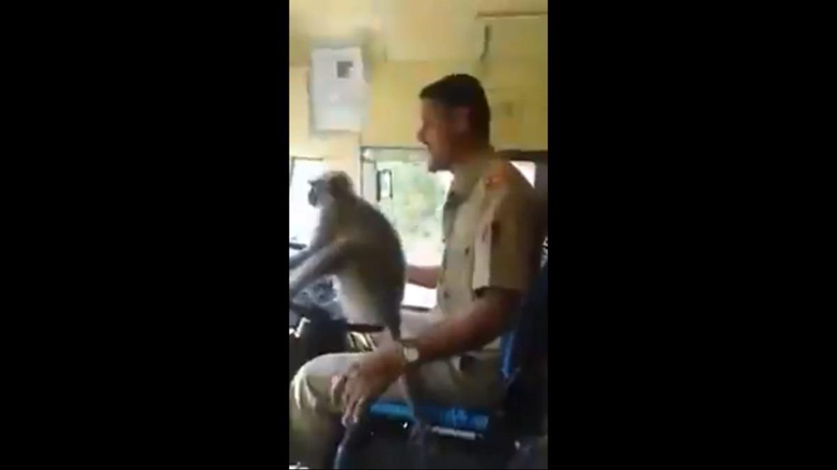 VÍDEO: Suspenden a un conductor de autobús por dejar conducir a unmono